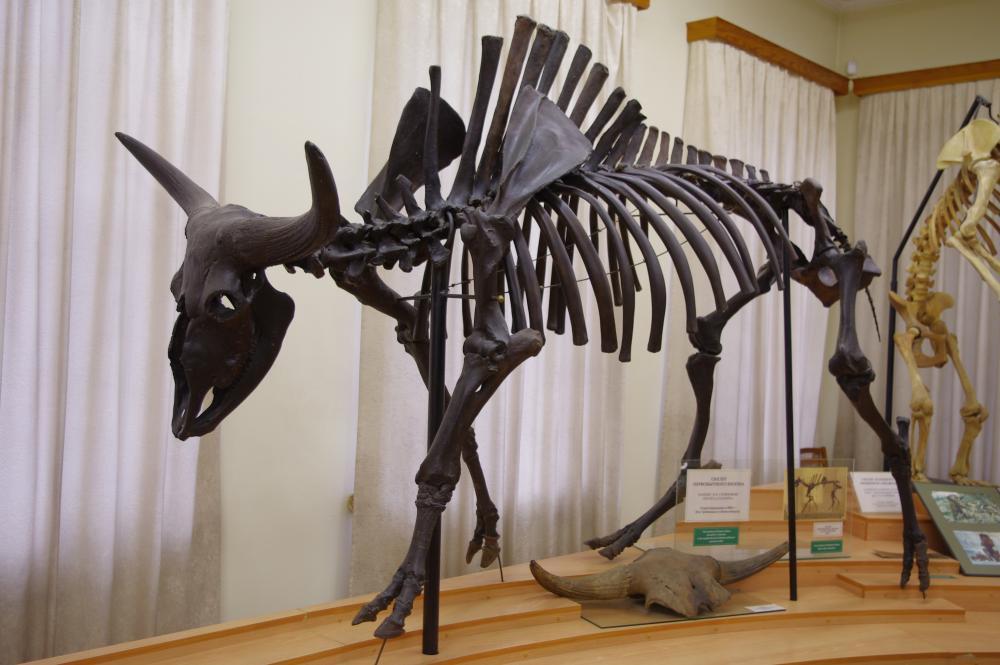 https://upload.wikimedia.org/wikipedia/commons/5/5d/Skamieniały_szkielet_w_muzeum_przyrodniczym_w_Tiumeniu_3.jpg
