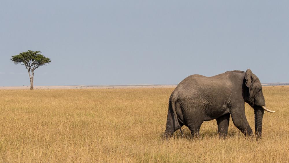 https://upload.wikimedia.org/wikipedia/commons/5/58/African_Bull_Bush_Elephant,_Maasai_Mara.jpg