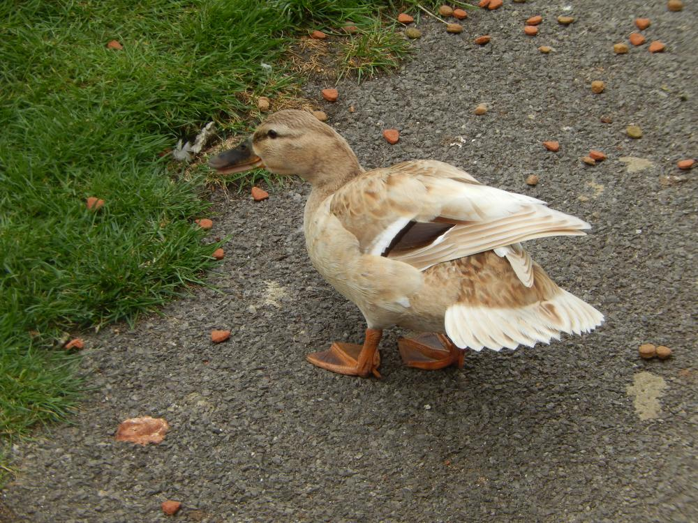 https://upload.wikimedia.org/wikipedia/en/3/34/Female_Mallard_with_faded_plumage_at_Bray_Lock%2C_May_2015.JPG