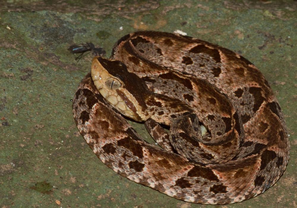 Bothrops asper (Panama) coiled.jpg