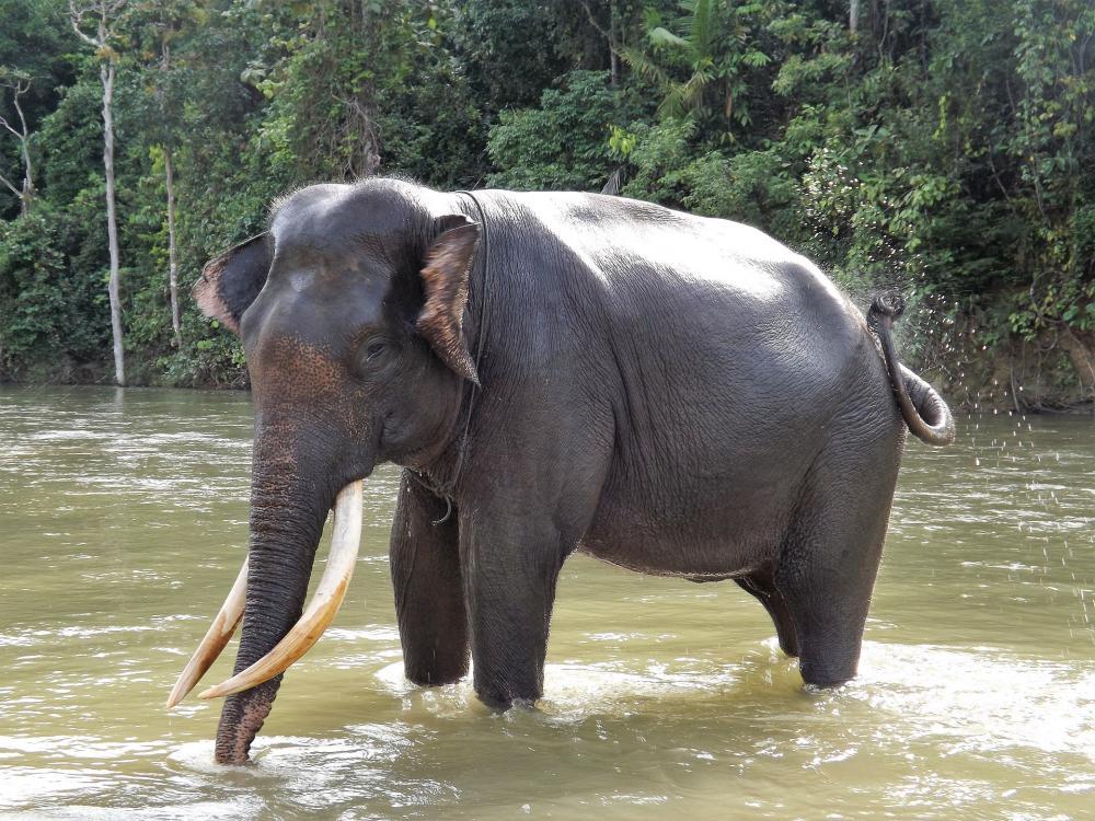 Elephant Sumatra ProfilG.jpg