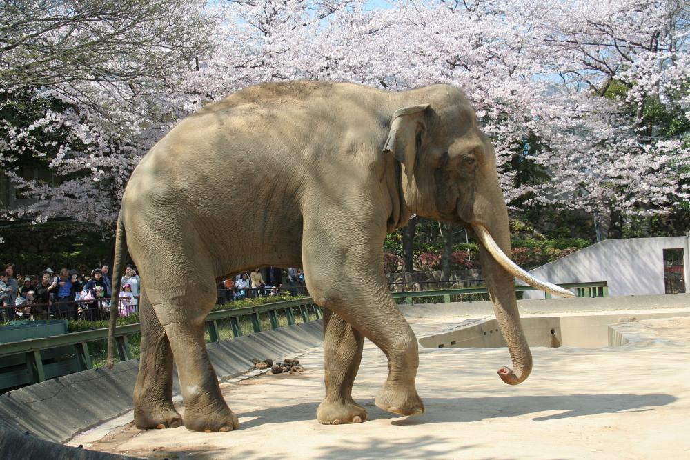 Elephas maximus Kobe 01.jpg