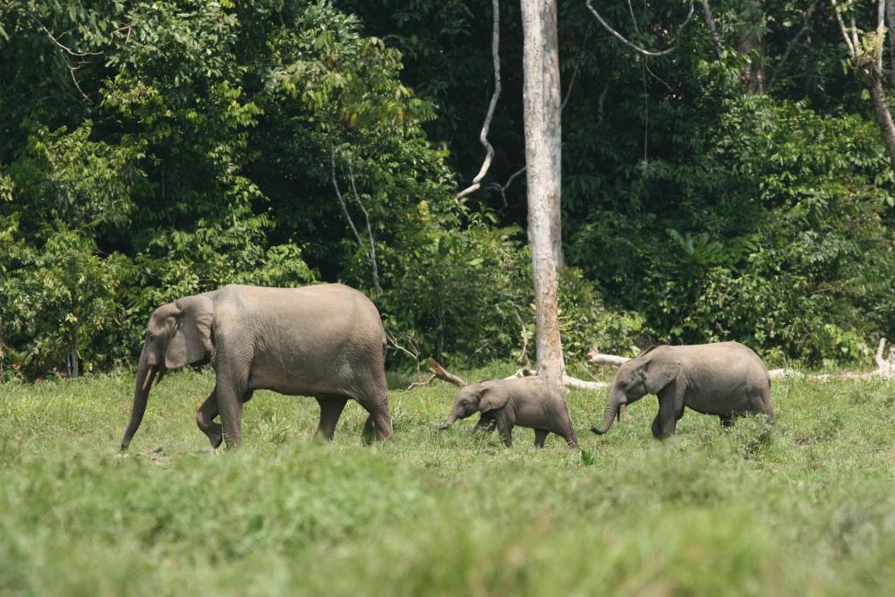 Forest elephant family (6987538203).jpg