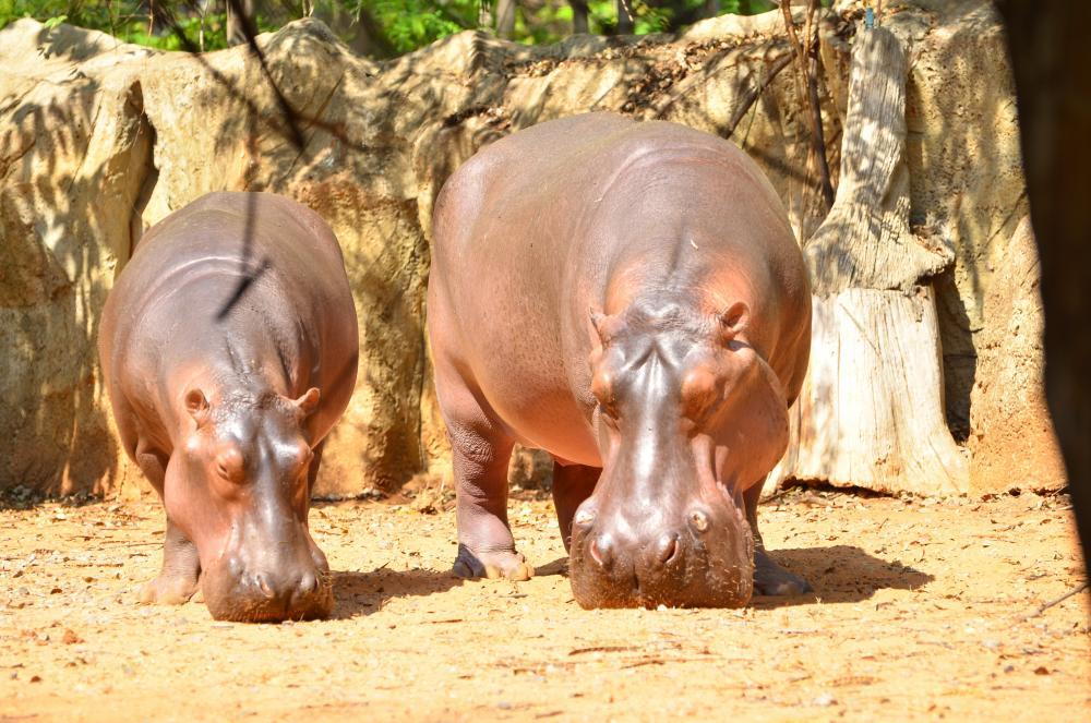 https://upload.wikimedia.org/wikipedia/commons/7/7a/2_hippo_korat_zoo.jpg