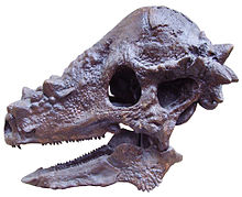 220px-Pachycephalosaurus_skull.JPG