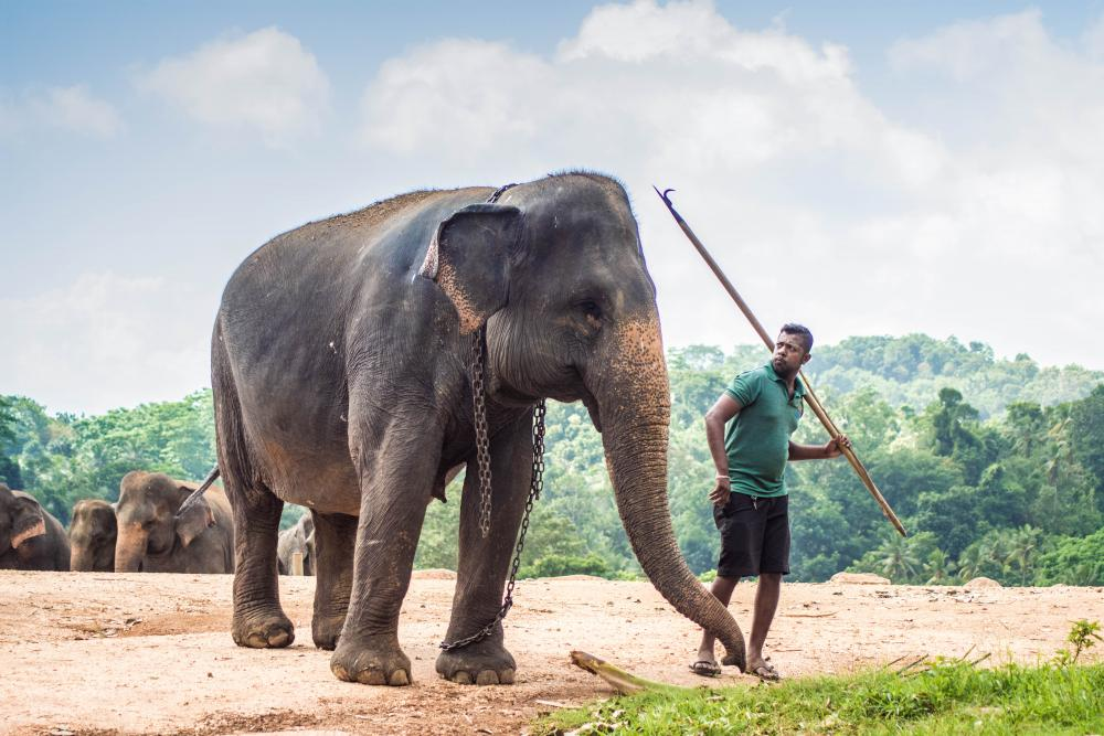 https://upload.wikimedia.org/wikipedia/commons/a/a8/Elephant_&_Mahout.jpg