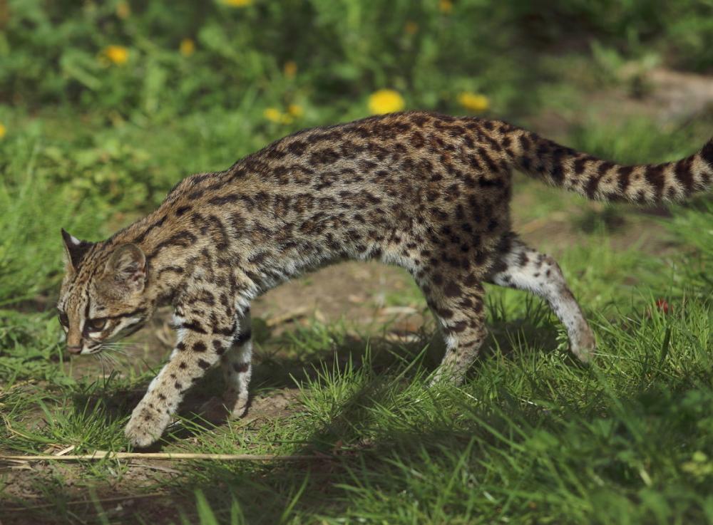 Leopardus tigrinus - Parc des Félins.jpg