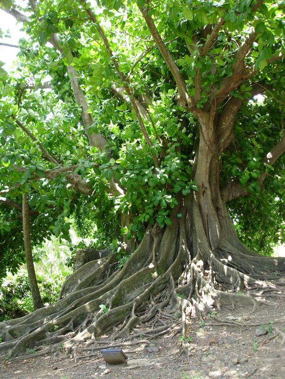 Ficus citrifolia.jpg
