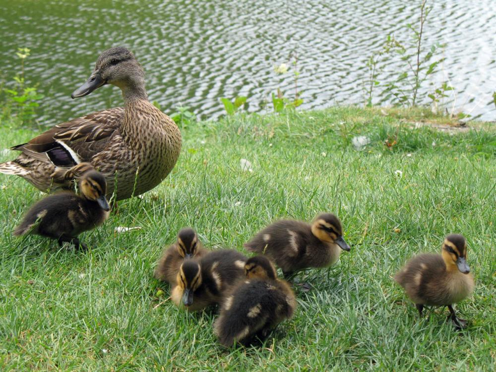 https://upload.wikimedia.org/wikipedia/commons/7/76/A_duck_and_ducklings_by_a_lake.jpg