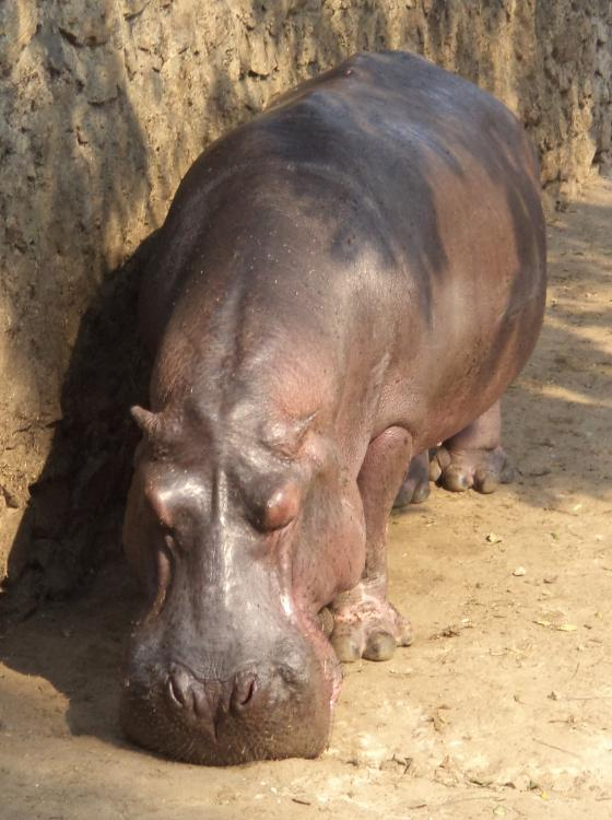 https://upload.wikimedia.org/wikipedia/commons/5/5c/A_hippopotamus_inside_Guwahati_Zoo.JPG