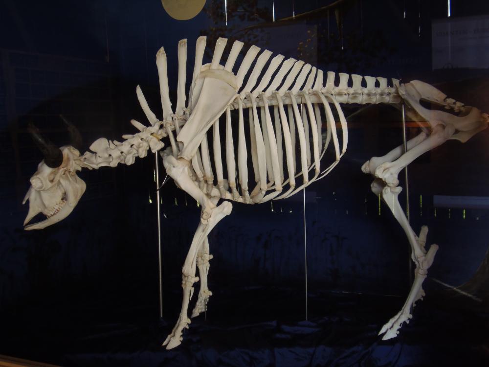 https://upload.wikimedia.org/wikipedia/commons/3/31/A_wisent_skeleton.JPG