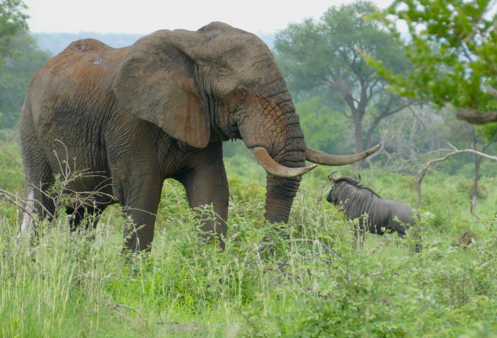 https://upload.wikimedia.org/wikipedia/commons/b/bb/African_Elephant_(Loxodonta_africana)_bull_...._(46469223435).jpg
