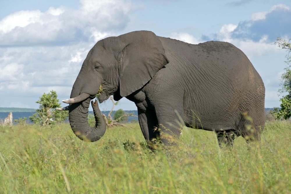 https://upload.wikimedia.org/wikipedia/commons/5/5c/African_Elephant_(Loxodonta_africana)_male_(16723147361).jpg