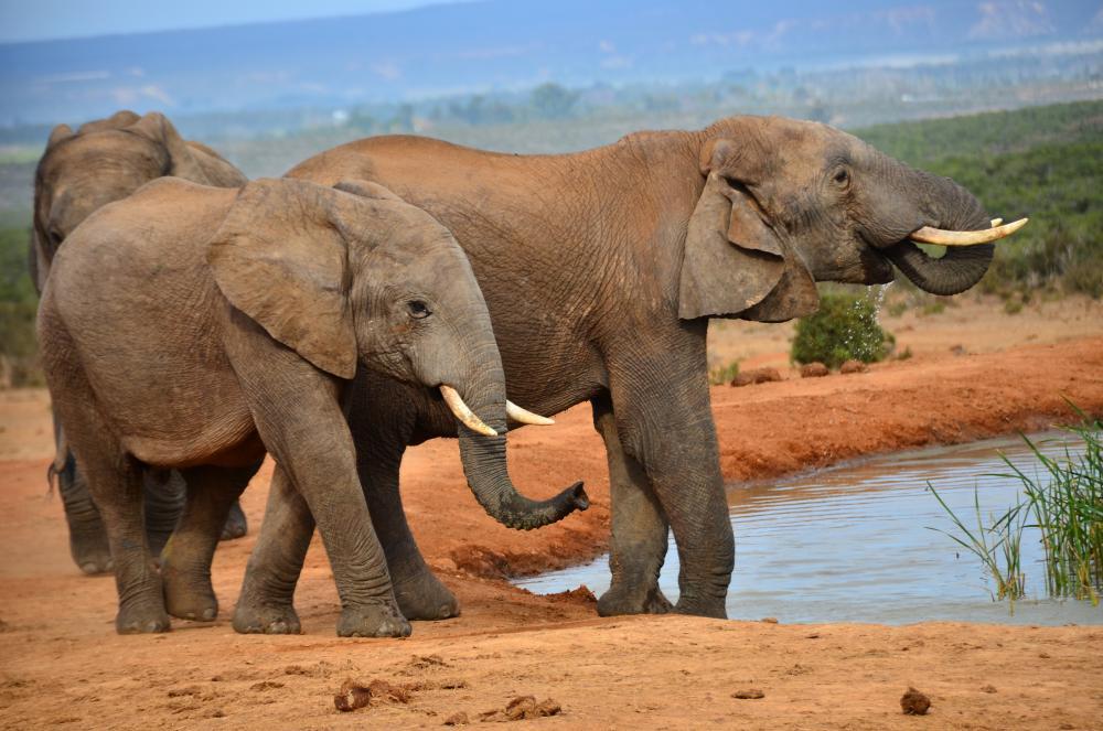 https://upload.wikimedia.org/wikipedia/commons/e/ea/African_elephant_(Addo)_29.jpg