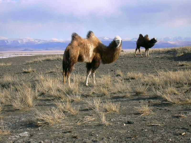 Camels_in_Kosh-Agachsky_District.jpg