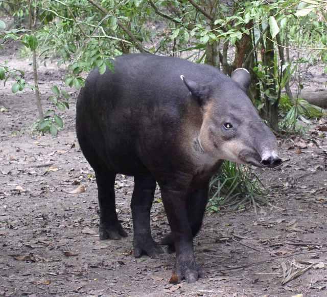 Central_American_Tapir-Belize20.jpg