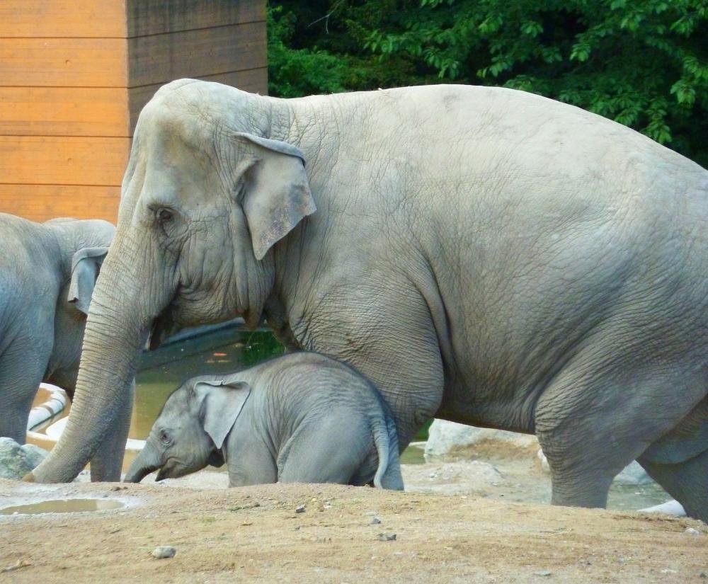 https://upload.wikimedia.org/wikipedia/commons/2/2b/Elephant-and-baby-elephant-in-zoo-Copenhagen.jpg