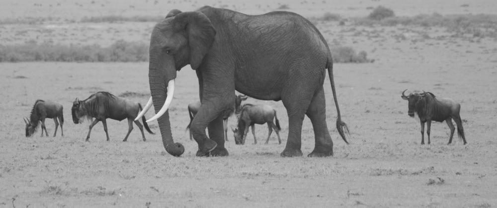 https://upload.wikimedia.org/wikipedia/commons/a/a6/Elephant_and_wilderbeast.jpg