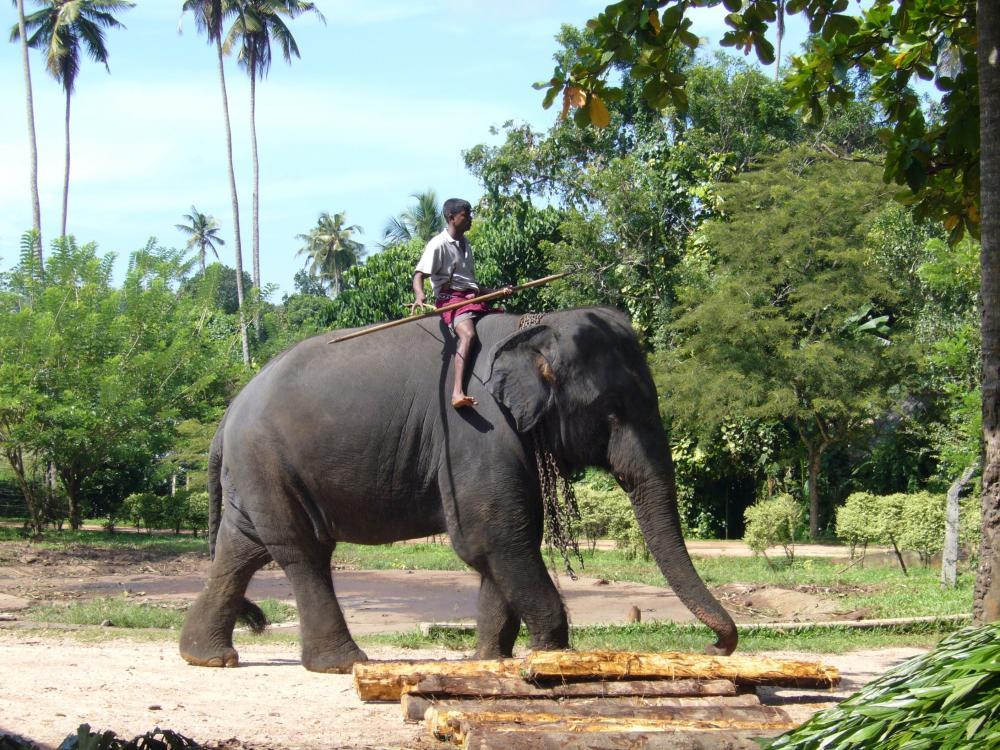 https://upload.wikimedia.org/wikipedia/commons/8/8b/Elephantin_Sri_lanka.jpg