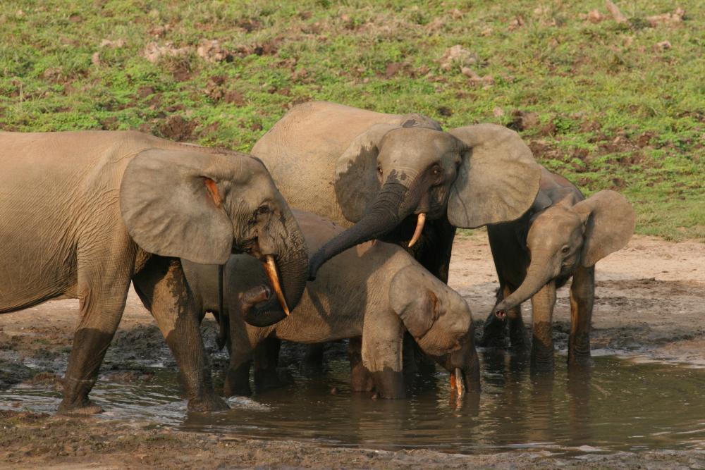 https://upload.wikimedia.org/wikipedia/commons/7/7b/Forest_elephant_group_1_(6841415460).jpg