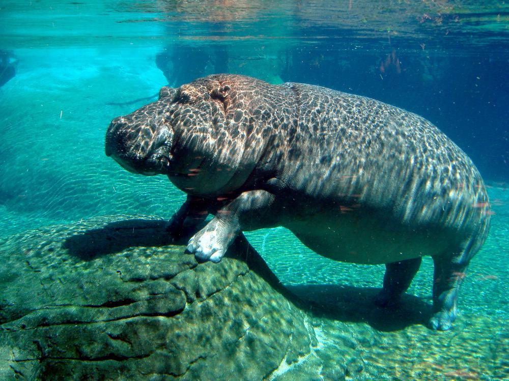 https://upload.wikimedia.org/wikipedia/commons/f/fa/Hippopotamus_in_San_Diego_Zoo.jpg