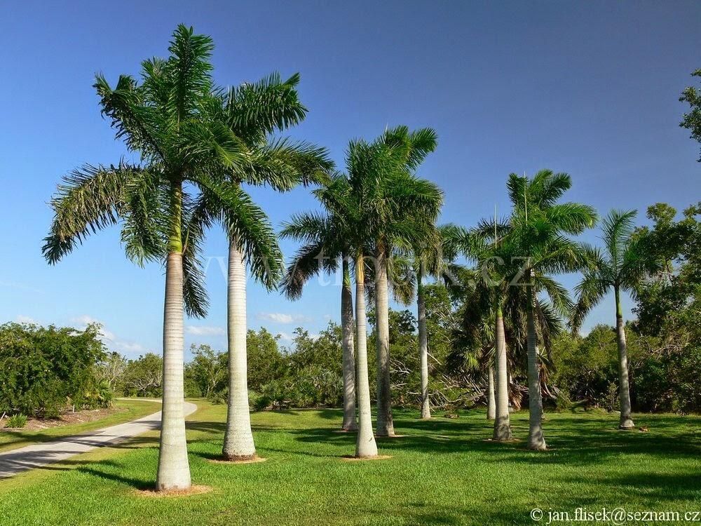 Resultado de imagen para royal palm hondurensis