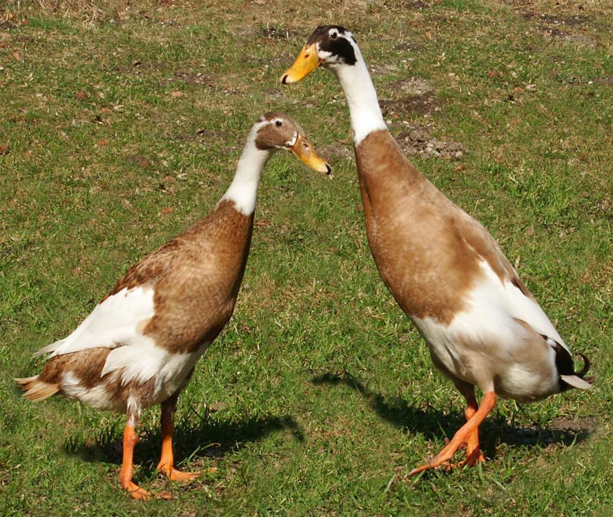 https://upload.wikimedia.org/wikipedia/commons/0/09/Runner-ducks.jpg