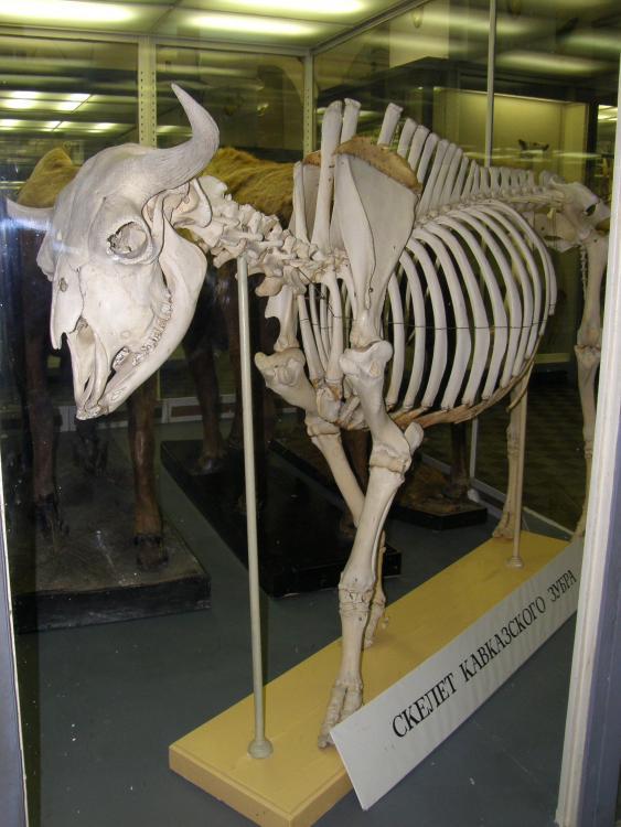 https://upload.wikimedia.org/wikipedia/commons/a/ae/Skeleton_of_Bison_bonasus_caucasicus.jpg