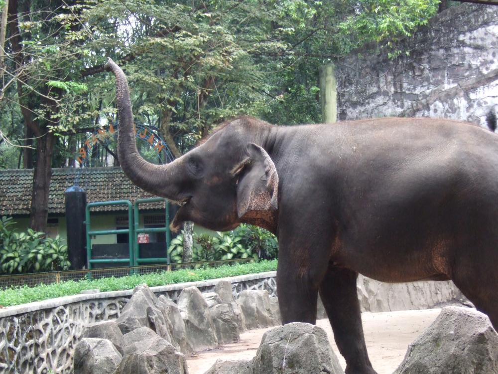 https://upload.wikimedia.org/wikipedia/commons/1/15/Sumatran_elephant_Ragunan_Zoo.JPG