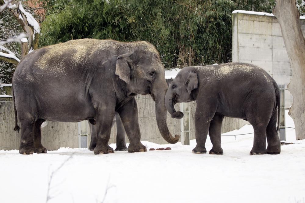 https://upload.wikimedia.org/wikipedia/commons/3/32/Zurich_zoo_elephant_01.jpg
