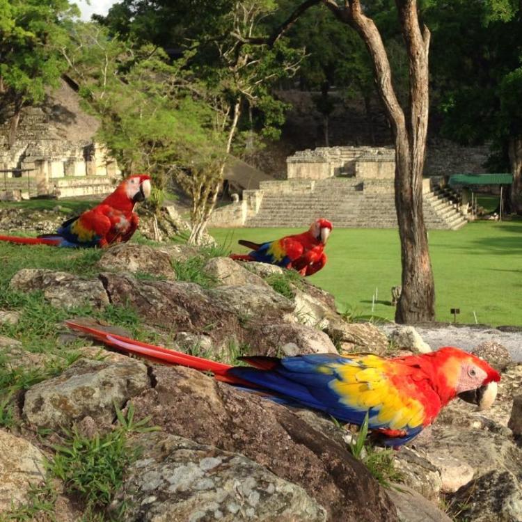 Resultado de imagen para macaw copan