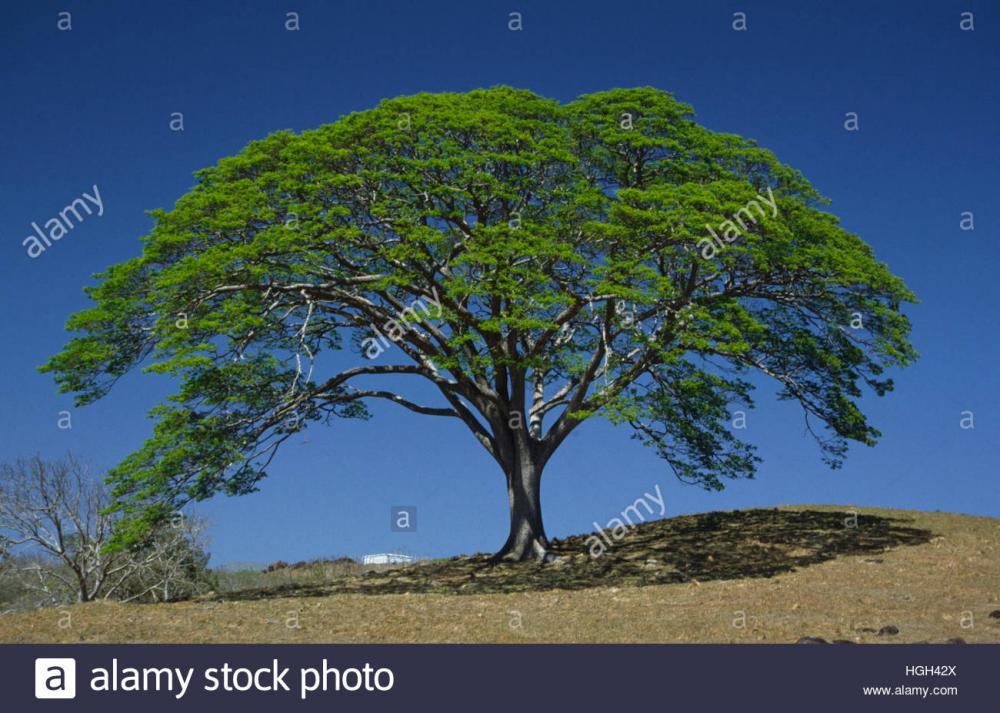 Resultado de imagen para guanacaste tree