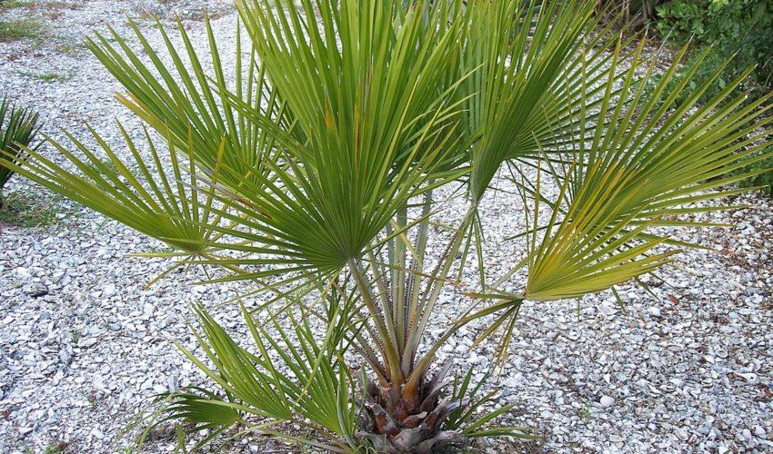Resultado de imagen para guano palm