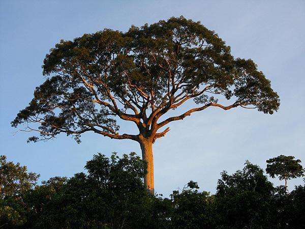 kapok-tree-ceiba-pentandra-2017-07-04.jp