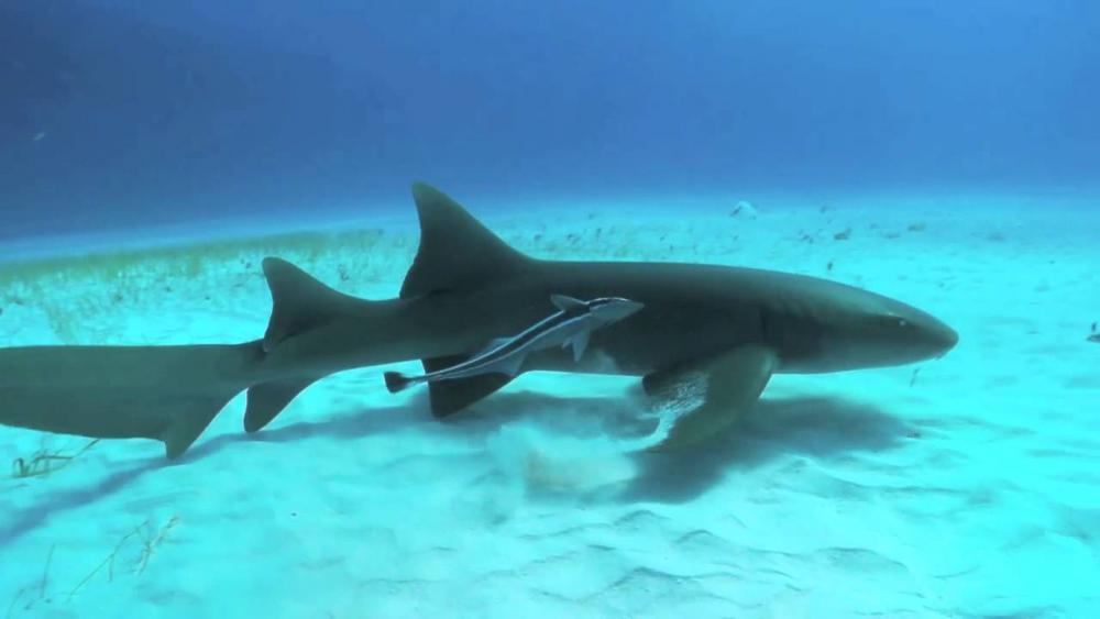 Resultado de imagen para tiburon gato