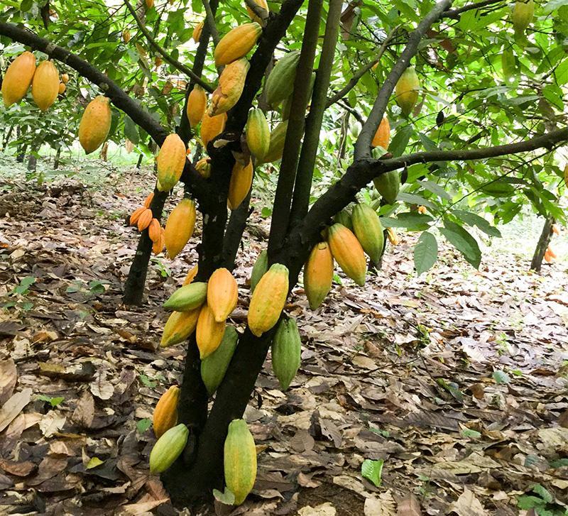 Resultado de imagen para cocoa tree