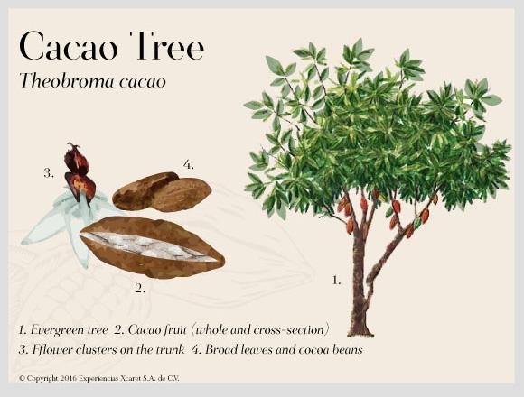 tree-cacao-cenotes