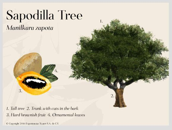 tree-sapodilla-cenotestree-sapodilla-cenotes