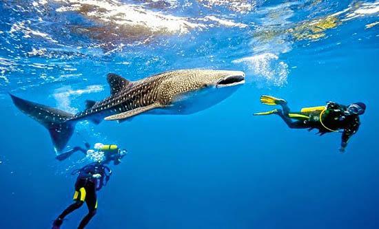 Resultado de imagen para tiburon ballena roatan