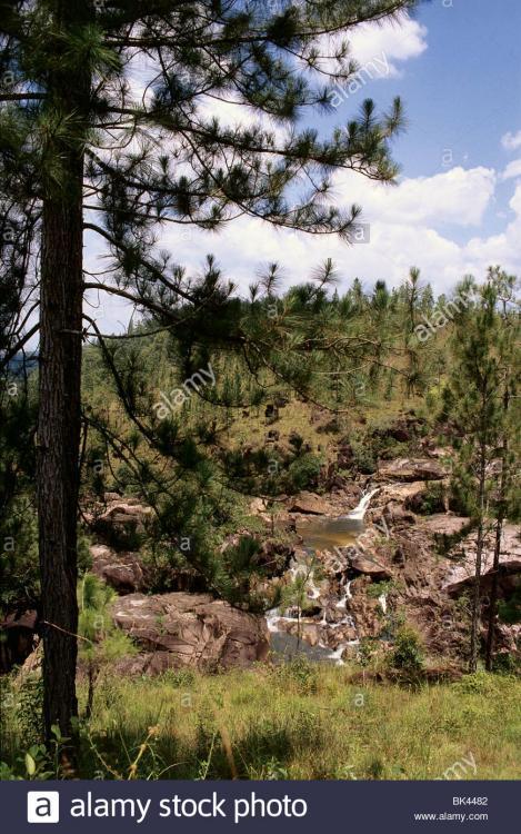 Resultado de imagen para central american pine