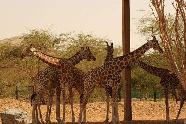 Al_Ain_Zoo_Giraffe.JPG.caf3cab0ff77174029723fcc7e84ce2f.JPG