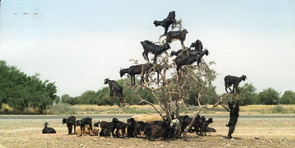 germany-goats-in-a-tree.thumb.jpg.ccfc0e710bf39181a211db8e2b1406ee.jpg