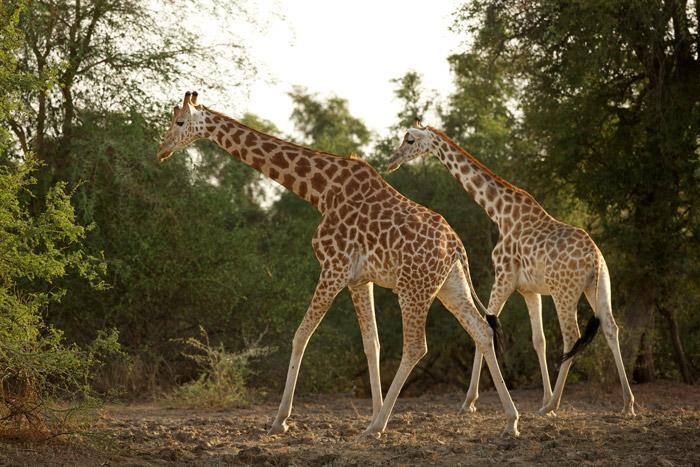 kordofan-giraffe-herd.jpg.a341176274a6fdffdd225cc71b677816.jpg