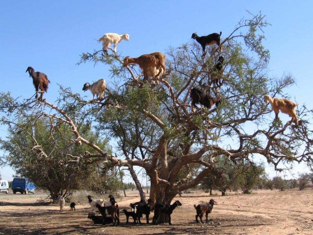tree-dwelling-goats.thumb.jpg.e4841c0e58a3fc2373dc47acdf8f0657.jpg