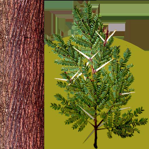 acacia_thorns_1.png