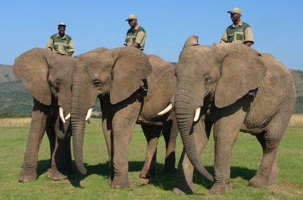 elephant-back-safari-elephant-handlers-590x390.jpg.4172ba2491a87109dd23a10c2e1afd59.jpg