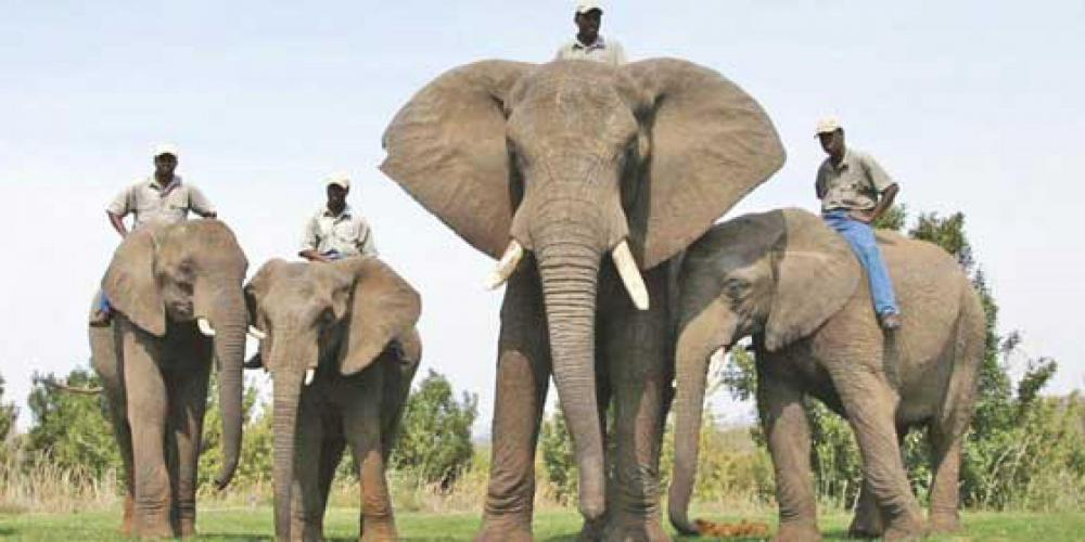 elephants-standing-in-formation-with-their-trainers.thumb.jpg.b510e367210aaf5dcd207f098738841a.jpg