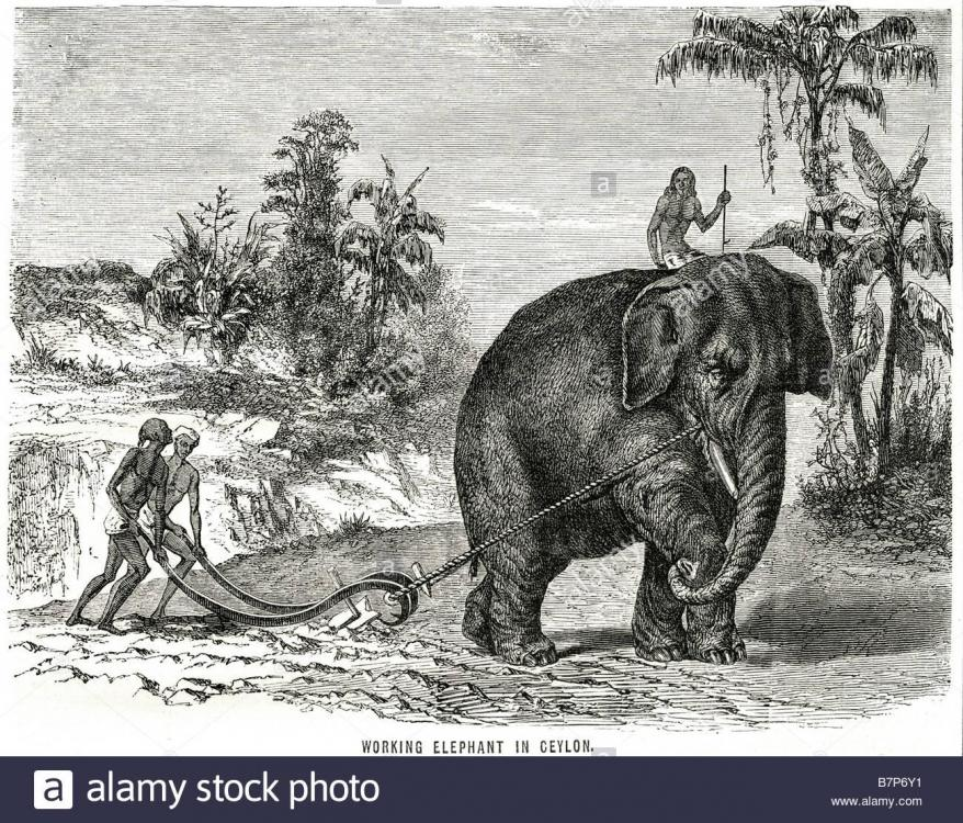 working-elephant-ceylon-animal-farming-land-traditional-wildlife-nature-B7P6Y1.thumb.jpg.8b8b94d0d5253ab3d0486b0e01cdaad4.jpg