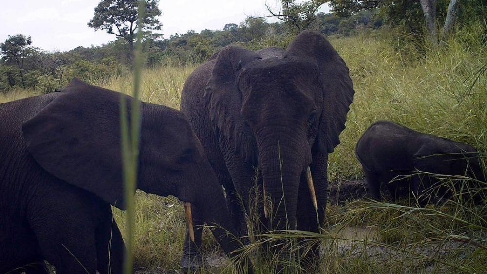 forest-elephant-family-credit-ffi-bucknell-university.jpg