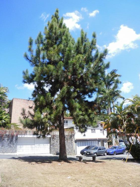 800px-Pinus_caribaea_Morelet_1851_2013_001.thumb.jpg.fafcc8cbd39f44745e67d2fc99b5c753.jpg